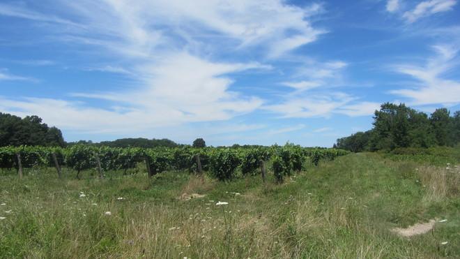 Grape field Lincoln, Ontario Canada