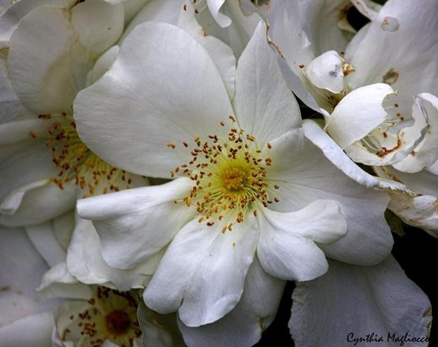 Wild Roses Pierrefonds, Quebec Canada