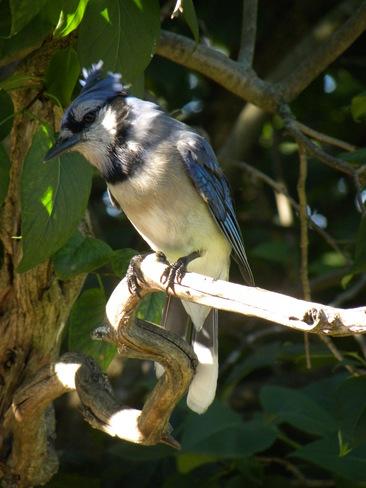 Blue Jay Ottawa, Ontario Canada