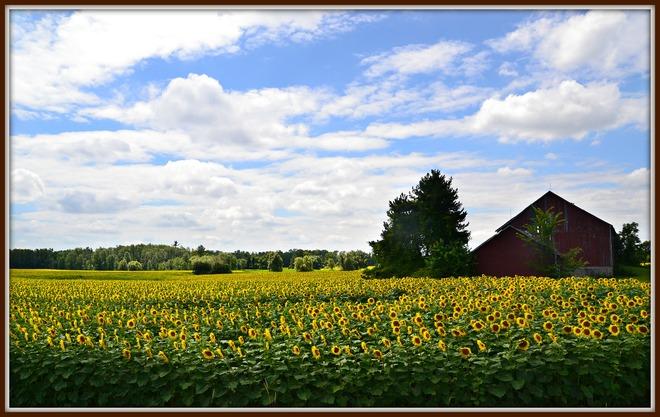 Sunflowers Dundas, Ontario Canada