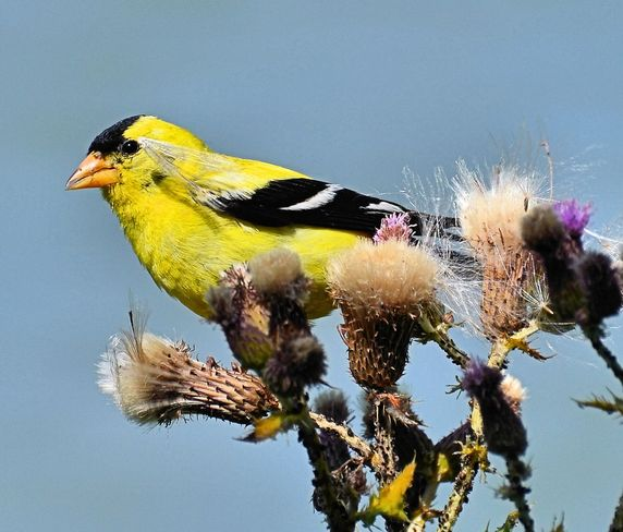 American Goldfinch Vancouver, British Columbia Canada