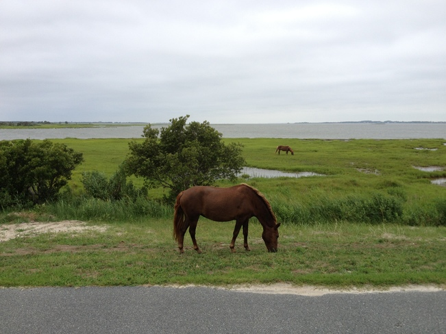 Wild horses of Assateague Barrier Island Ocean City, Maryland United States