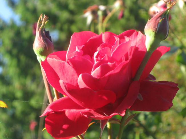 a rose with 'raised arms ' Surrey, British Columbia Canada