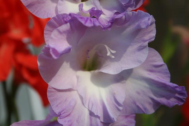 gladiolus Bradford West Gwillimbury, Ontario Canada