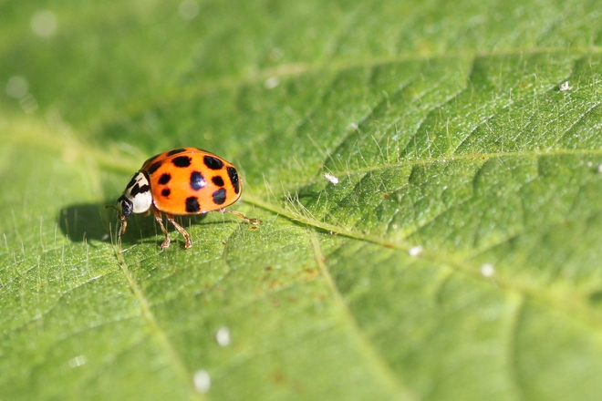 ladybugs lunch Maxville, Ontario Canada
