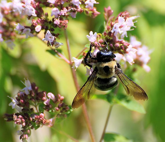 Carpenter Bee Dundas, Ontario Canada