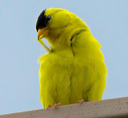 American Goldfinch on the roof Mississauga, Ontario Canada