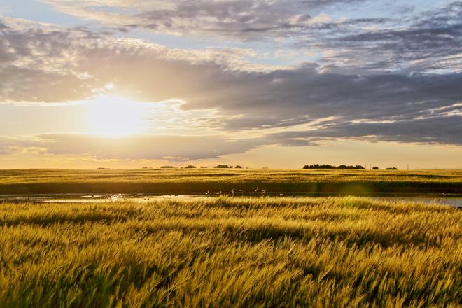 Barley field Calgary, Alberta Canada