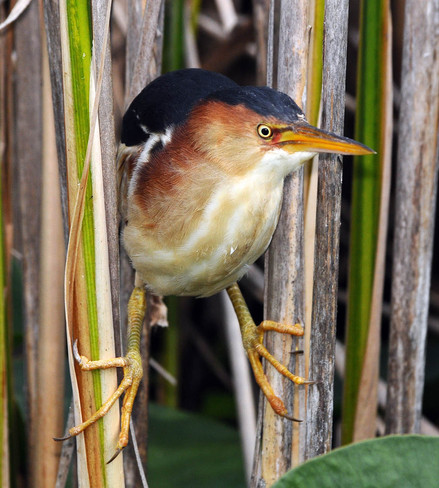 Least Bittern Bowmanville, Ontario Canada