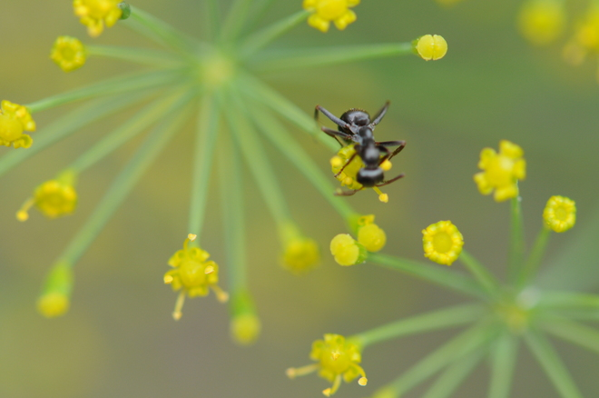 Ant on Dill Weed Flower Winnipeg, Manitoba Canada
