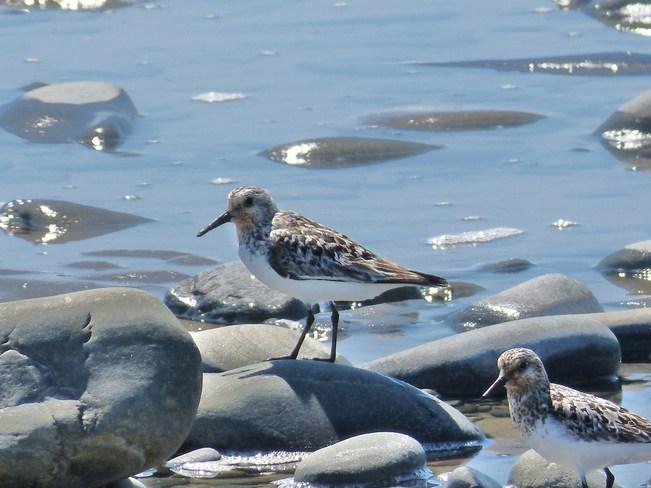 Sandpipers Yarmouth, Nova Scotia Canada