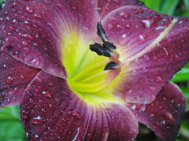 Rainy day Lily Orleans, Ontario Canada