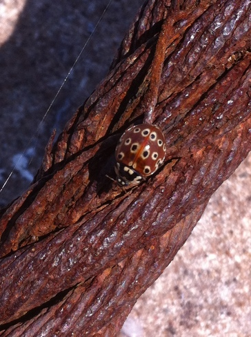 Large Lady Bug Sault Ste. Marie, Ontario Canada