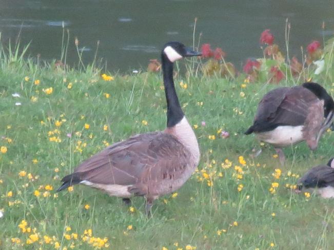 Canada Goose Greater Sudbury, Ontario Canada