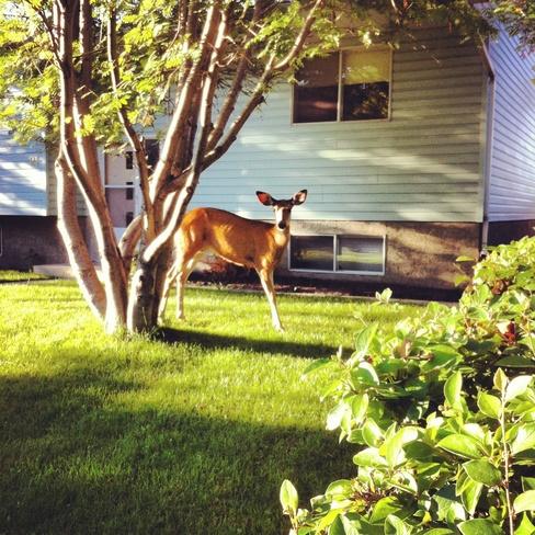 deer Okotoks, Alberta Canada