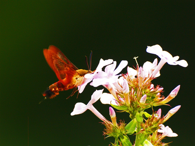 Hummingbird Moth at a flower Oxford Mills, Ontario Canada