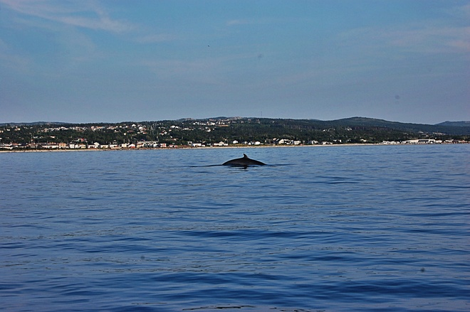 Whale in the bay! Conception Bay South, Newfoundland and Labrador Canada