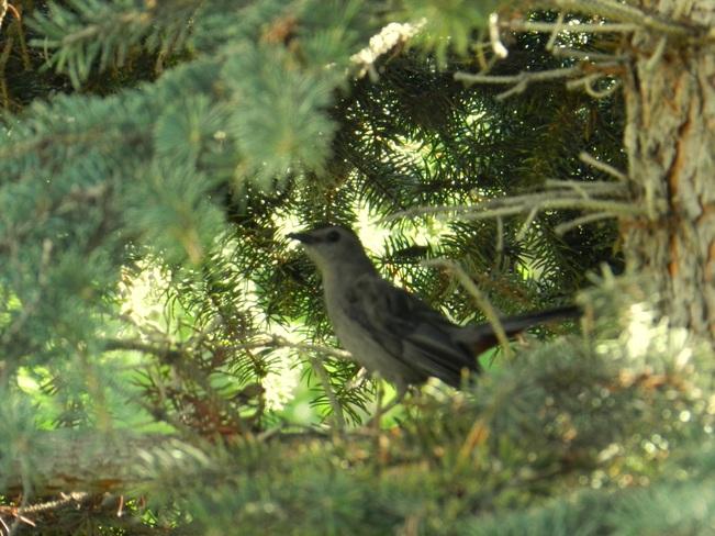 Gray Catbird Fort Qu'Appelle, Saskatchewan Canada