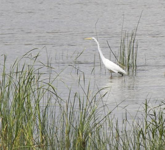 Great Egret on Lac des Deux-montagnes Vaudreuil-Dorion, Quebec Canada