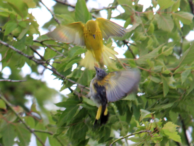 Yellow Warbler and young American Redstart Fergus, Ontario Canada