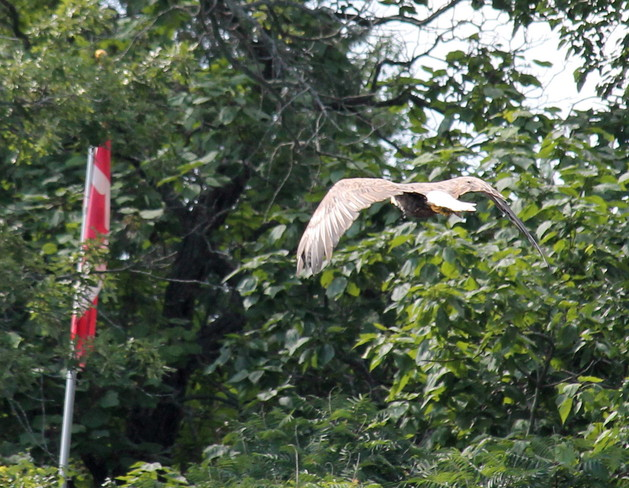 Canadian Flag and Bald Eagle Brantford, Ontario Canada