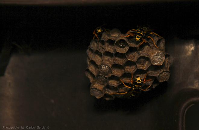 Wasp Nest Oshawa, Ontario Canada