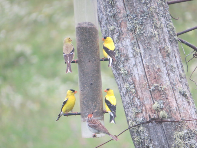 3 male American Goldfinches 1 female American Goldfinch and 1 Chipping Sparrow Rutherglen, Ontario Canada