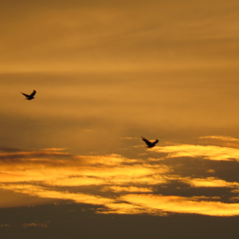 Crows and the sunset Timmins, Ontario Canada