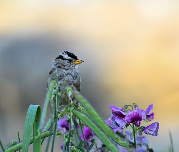 White Crowned Sparrow Vancouver, British Columbia Canada