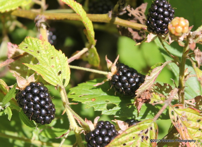 Wild Black Berries Otter Lake, Quebec Canada