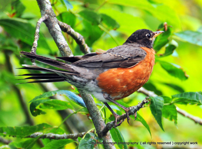 Colouful Robin Whitby, Ontario Canada