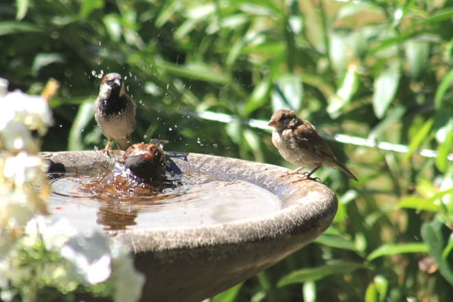 sparrows Abbotsford, British Columbia Canada