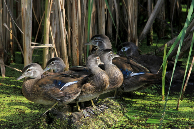 Young Wood Ducks Fergus, Ontario Canada