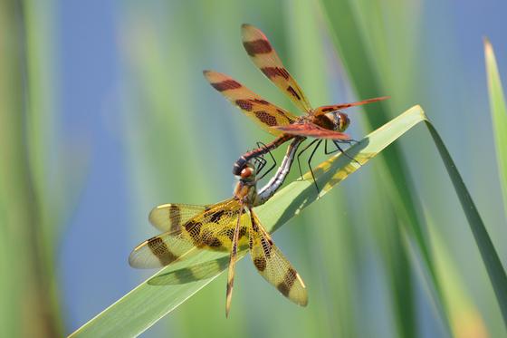 5a. Dragonflys