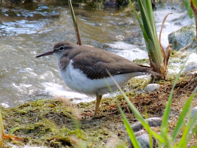 I Spotted a Spotted Sandpiper. Port Perry, Ontario Canada