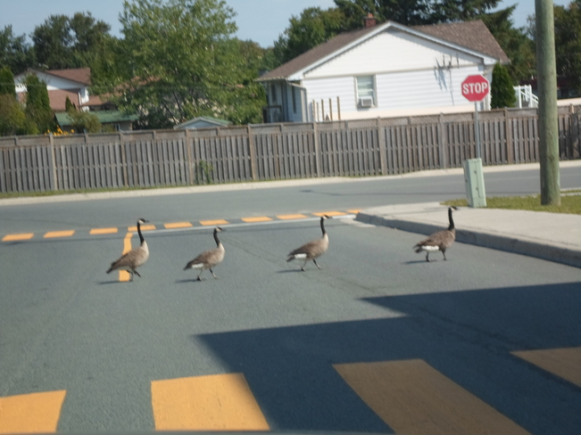 Geese Intersection Crossing Elliot Lake, Ontario Canada