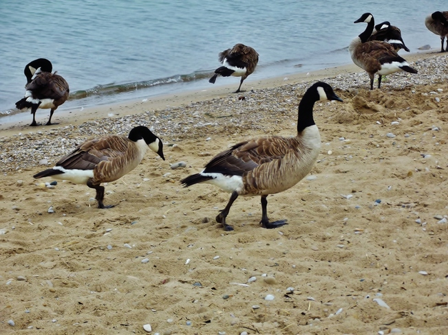 Geese Seaforth, Ontario Canada