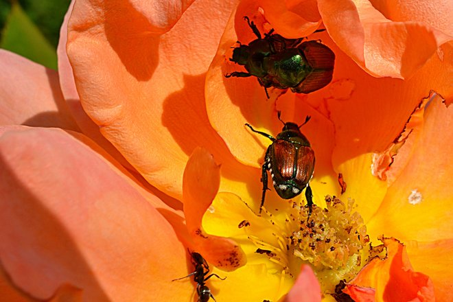 Three Bugs and an Ant in a Rose Goderich, Ontario Canada