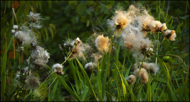 At sunset, thistle seed dispersion. Elliot Lake, Ontario Canada