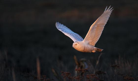 2b. Snowy Owl