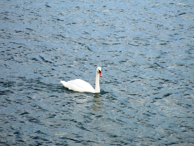 Swan on the lake Mississauga, Ontario Canada