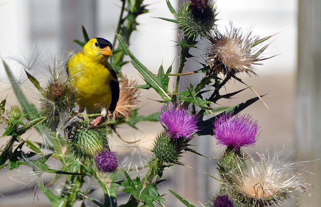 Finch in the thistle London, Ontario Canada