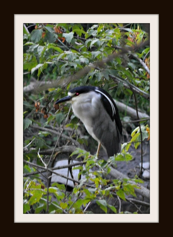 Black Crested Night Heron Newmarket, Ontario Canada