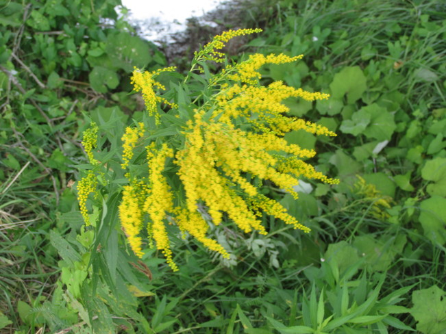GoldeNRODS NOW A COMMON SIGHT Moncton, New Brunswick Canada