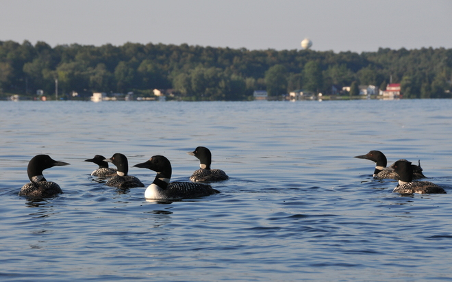 Loons on St. Lawrece River Brockville, Ontario Canada