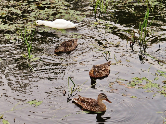Hungry ducks dabbling here and dabbling there. North Bay, Ontario Canada