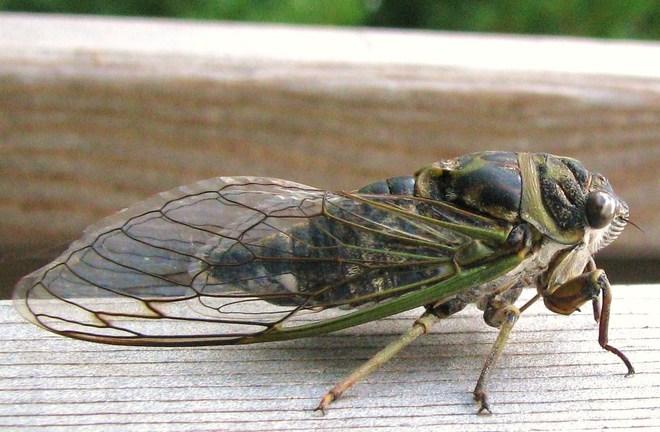 A Cicada Giving Me The Eye Havelock, Ontario Canada