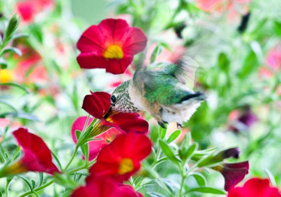 Hummingbird Feast