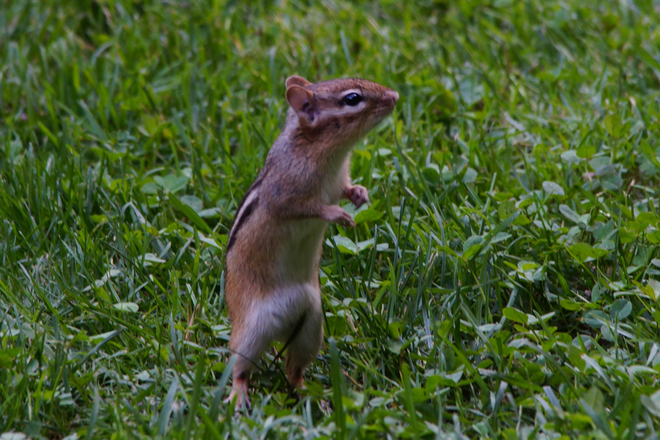 Chipmunk Dance Bond Head (not available), Ontario Canada