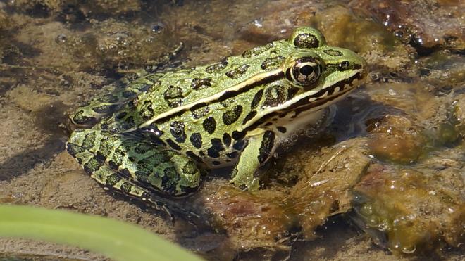 northern leopard frog Komoka, Ontario Canada